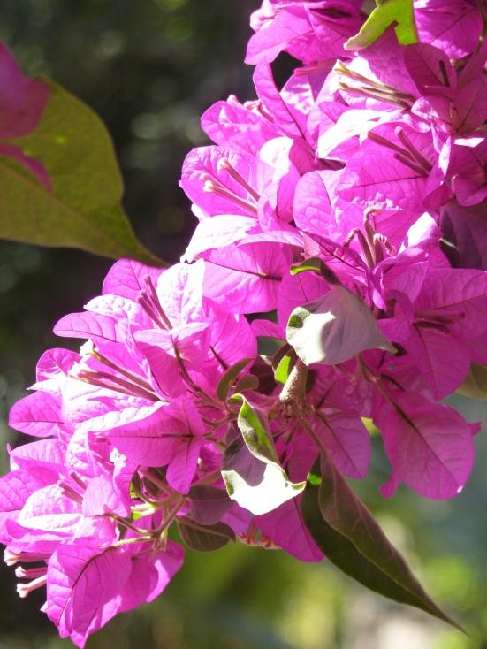 Bougainvilliers en fleurs