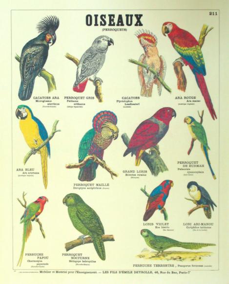 Planche pédagogique des perroquets © maison Deyrolle