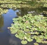Monet et ses nymphéas inspirent les Américains – Chapitre2