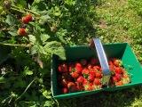 Flash Actu : Ramène ta fraise à la cueillette de Viltain!